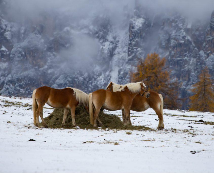 Cavallo Avelignese o Haflinger