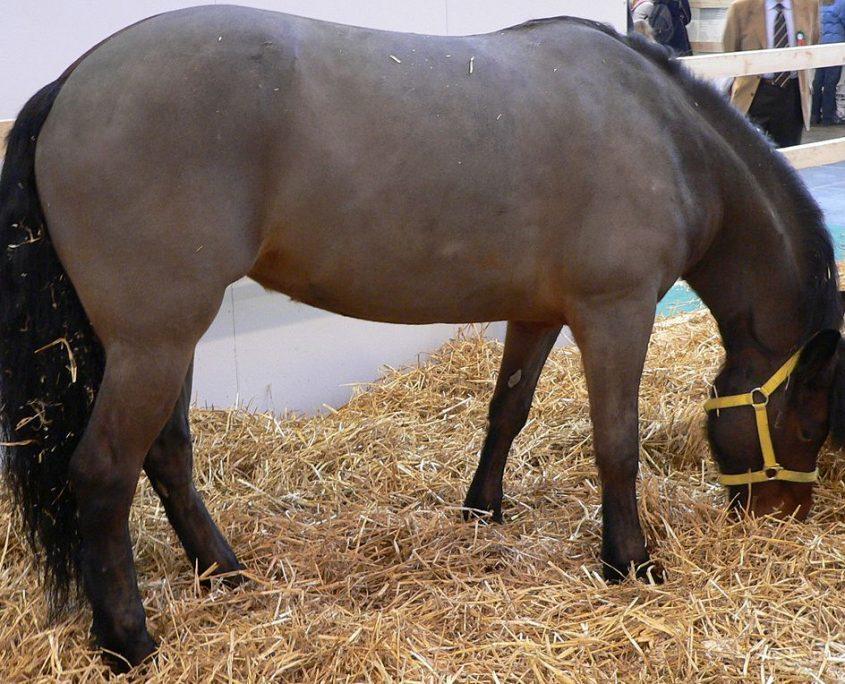 cavallo bardigiano carattere e storia
