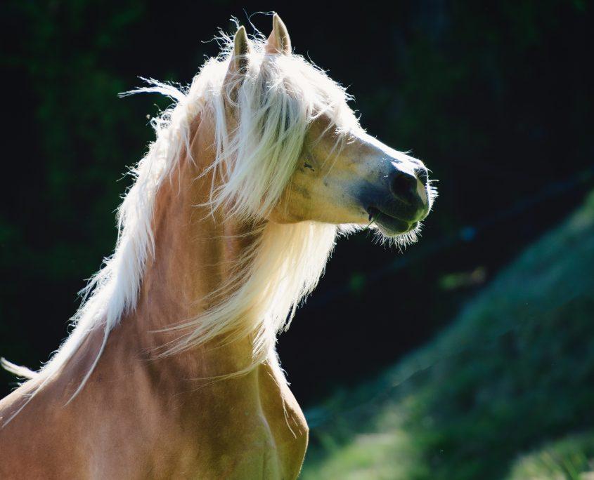 cura della criniera del cavallo e della sua coda